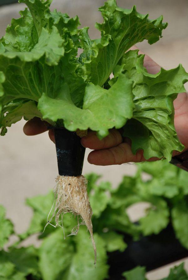 Hidroponics Green Salads